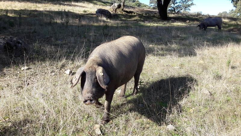 Iberan pig
