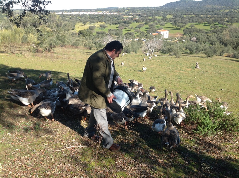 Geese being fed in a field on our foie grass tour