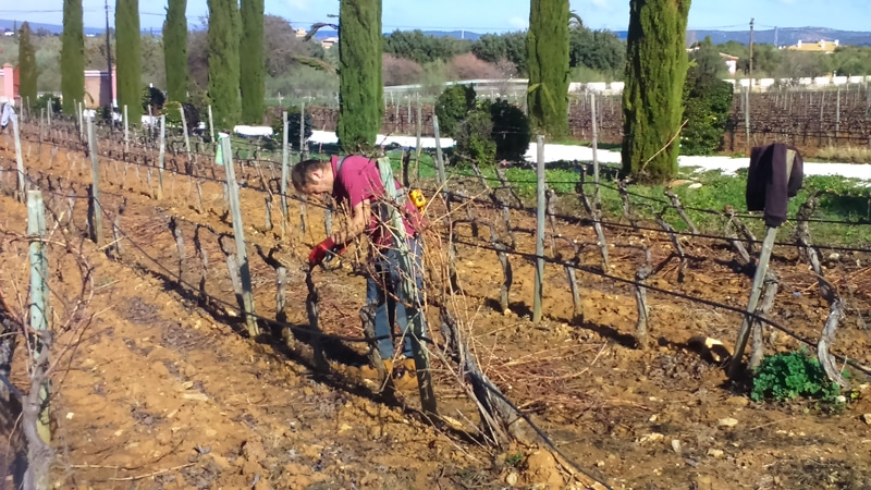 A man pruning vines in a vineyard in Ronda during our wine tour