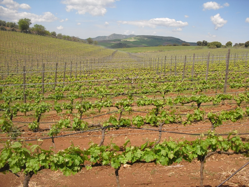 View of a vineyard near Ronda with background scenery