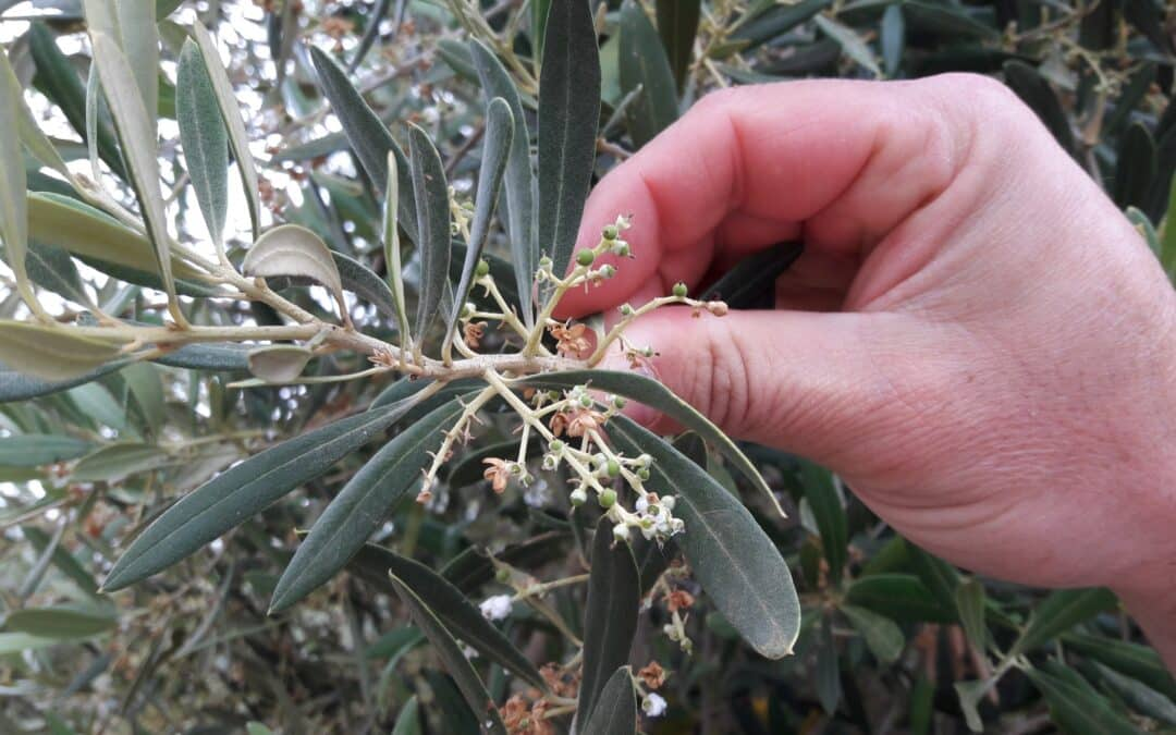 Olives are now forming