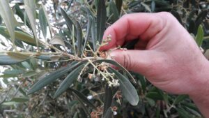 Olives starting to form
