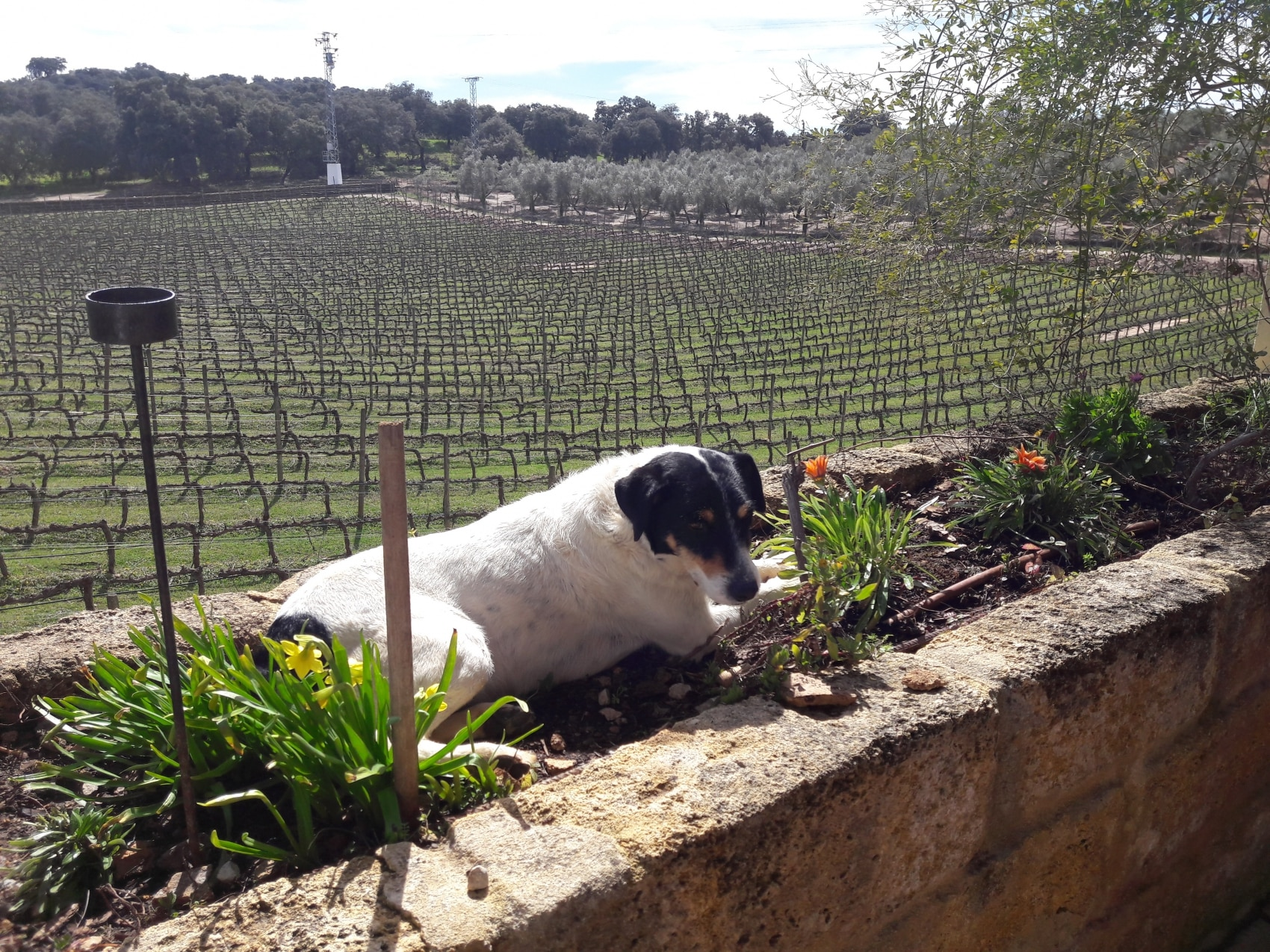 vineyard in Ronda Spain with dog in the foreground
